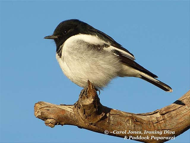 Clear Blue Skies For The Prince Of The Paddocks. Mr Hooded Robin.
