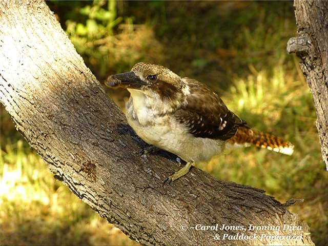 Brunch. Kookaburra With Caterpillar.