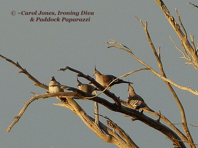 Crested Pigeons. Aglow In The Morning Sun.