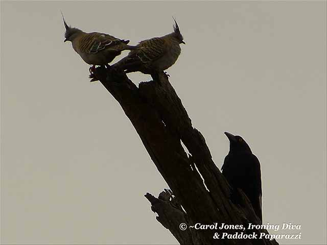 Crested Pigeons. In The Penthouse Of A Totem Pole. With A Currawong Challenger.