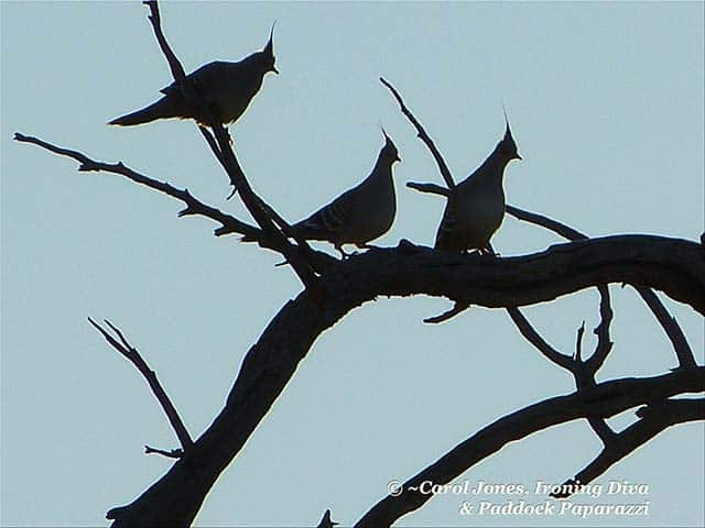 Crested Pigeons. In Silhouette.