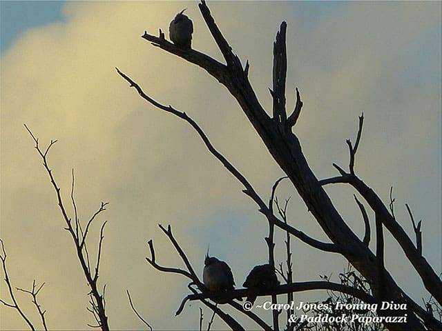 Crested Pigeons. In A Dawn Silhouette. Roosting In The Paddocks.