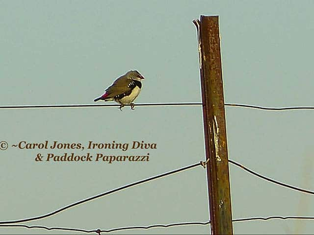 A Diamond Firetail Fence Sitting In The Wind