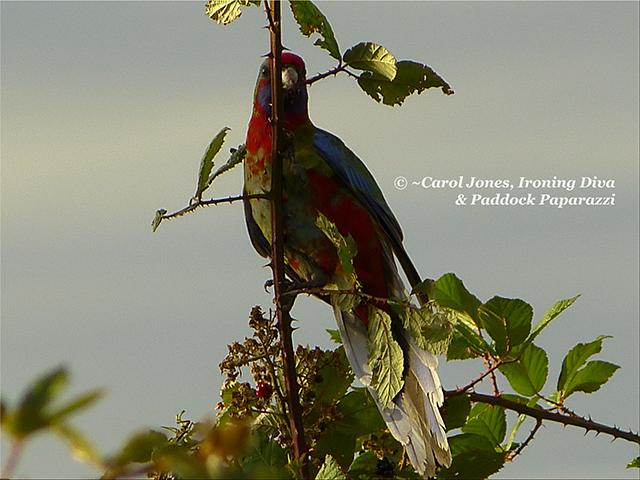 Crimson Rosella Fledgling. On Blackberry. In Early Morning Light.