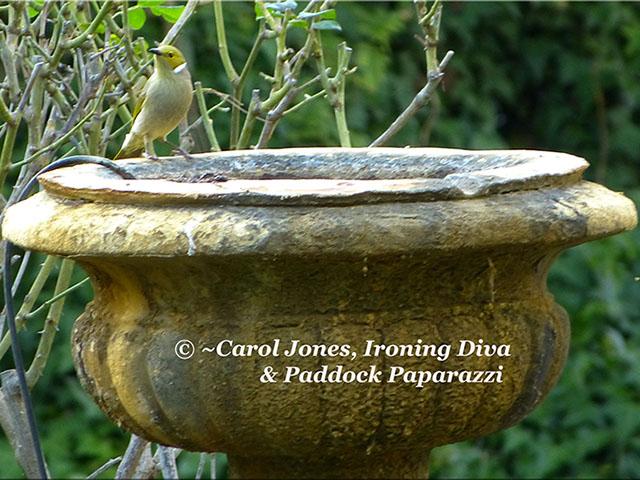 A White Plumed Honeyeater On The Birdbath