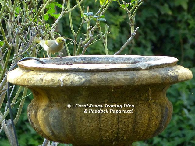 White Plumed Honeyeater. Flicking Its Tail. On The Birdbath.