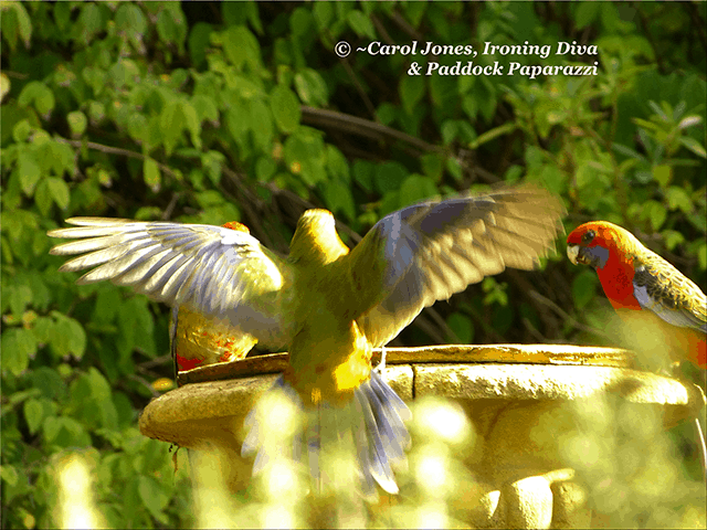 Crimson Rosella Fledglings On Birdbath.