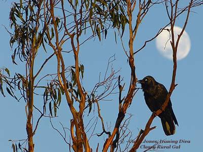 Birds. Raven. Setting Moon.