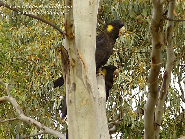 Black Cockatoos In My Garden.