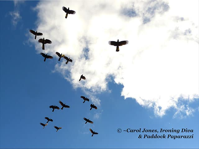 A Flock Of Black Cockatoos In The Clouds.