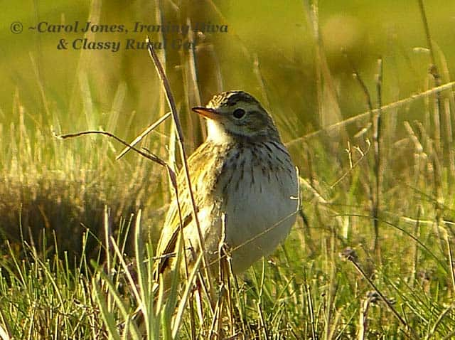A Brown Songlark. In Paddock Grass.