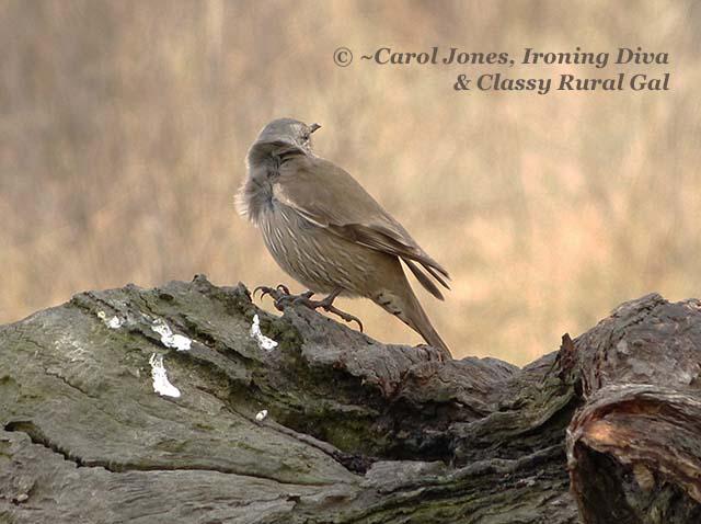 A Brown Songlark. On A Log.