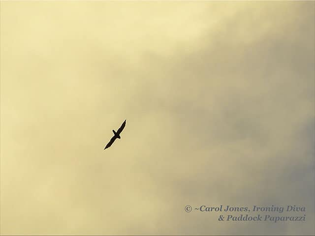 A Hawk. Soaring On A Thermal.