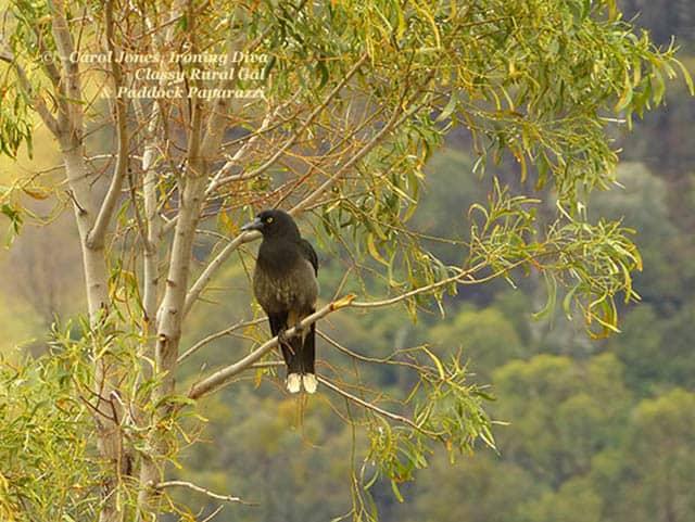 A Currawong juvenile. In a eucalyptus tree.