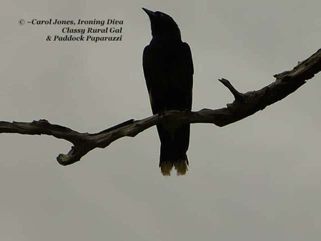 A currawong in a rainy sky