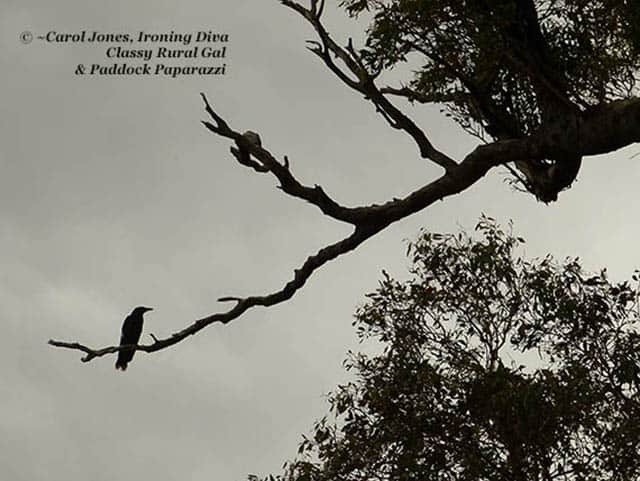 A currawong in a stormy sky.