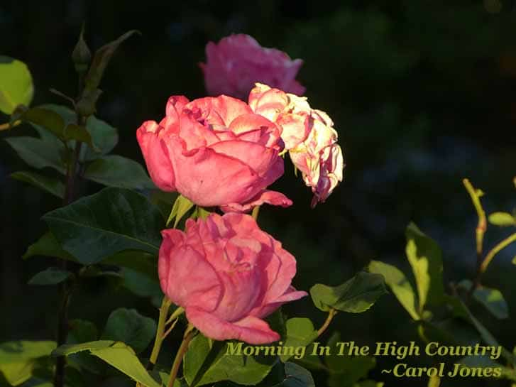 Morning In The High Country. Pink Roses. Omeo Victoria