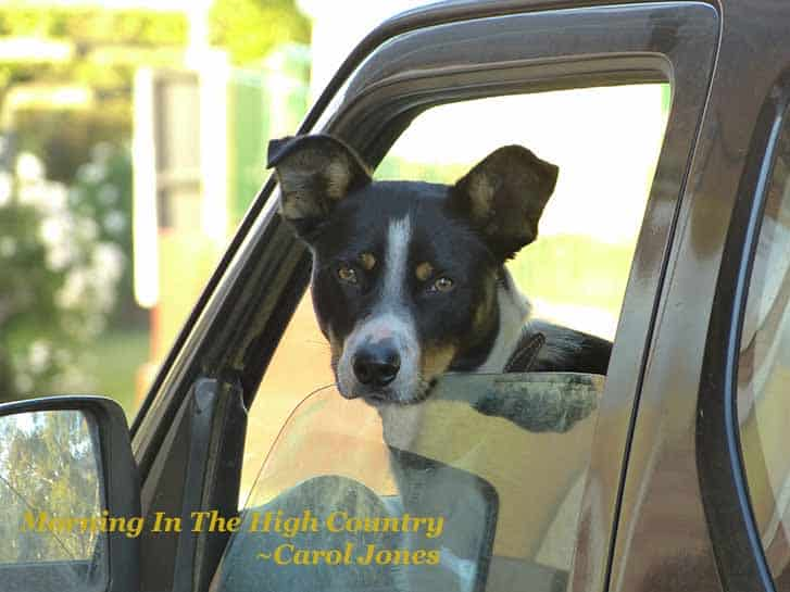 Morning In The High Country. Kelpie In Car. Omeo Victoria